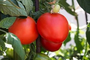 Tomato300px